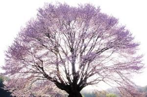 友遊撮影倶楽部写真展「25人25色25様の桜」