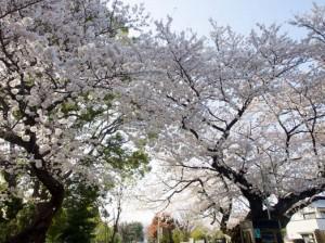 桜と天気と視点の関係