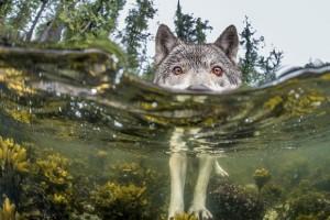 オオカミ泳ぐ。ブリティッシュコロンビア州の海岸、カナダ
