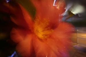 夜の花だが、手前のサザンカと背景の両方にピントが合っている